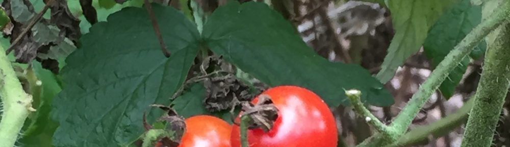 REAL TOMATOES